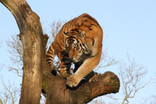 Third Additional product image for - Tiger Photopack1