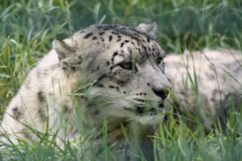 First Additional product image for - Snowlepard Portrait1
