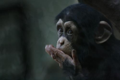 First Additional product image for - Chimpanzee Portrait1