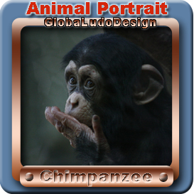 Chimpanzee Portrait1 | Photos and Images | Animals