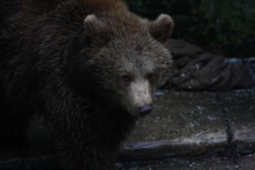 First Additional product image for - Brown Bear portrait1