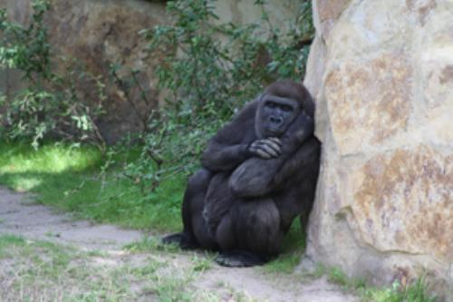 First Additional product image for - Gorilla Portrait1