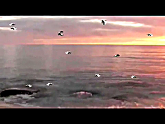 Video Visual Sea Birds Animation