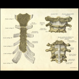 Cervical Spine and Sternum Poster | Photos and Images | Health and Fitness