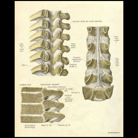 Thoracic Spinal and Vertebral Anatomy Poster | Photos and Images | Health and Fitness