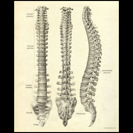 Spinal Column Anatomy Poster | Photos and Images | Health and Fitness