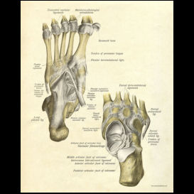 Foot Anatomy Poster | Photos and Images | Health and Fitness
