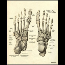 bones of the feet anatomy poster