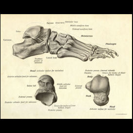 bones of the foot anatomy poster