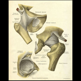 anatomy of the hip joint poster