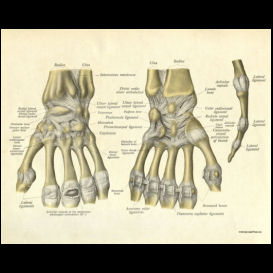 bones and ligaments of the hand poster