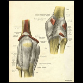 ligaments of the knee anatomy poster