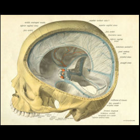 Human Skull Anatomy Art Print | Photos and Images | Health and Fitness