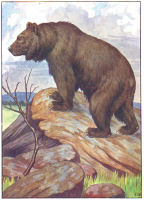 bear print from 1906 child's animal book