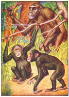 Chimpanzee Print from 1906 Child's Animal Book | Photos and Images | Animals