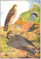 Hawks Print from 1906 Child's Animal Book | Photos and Images | Animals