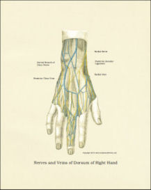 Hand Anatomy Poster / Print | Photos and Images | Health and Fitness