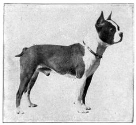Scientific Guide to Breeding the Boston Terrier | eBooks | Outdoors and Nature