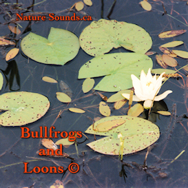 bullfrogs and loons extended version