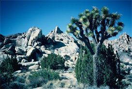 Joshua Tree Landscape Hi-Res Image | Photos and Images | Nature