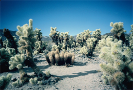 Cholla Garden Hi-Res Image | Photos and Images | Nature
