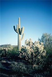 Saguaro And Cholla Hi-Res Image | Photos and Images | Nature