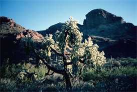 Cholla Tree Hi-Res Image | Photos and Images | Nature