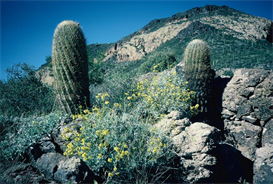 Barrel Cacti Hi-Res Image | Photos and Images | Nature