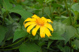 Yellow Daisy Flower photo | Photos and Images | Nature
