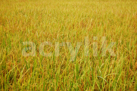 Rice Field photo | Photos and Images | Nature
