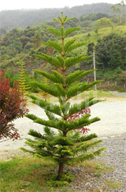 Christmas Pine Tree photo | Photos and Images | Holiday and Seasonal