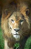 Classic lion head photography: 800x600 pixels PC wallpaper   Other Files   Wallpaper