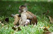Capuchinos Monkeys: 800x600 PC background wallpaper   Other Files   Wallpaper