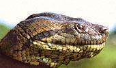 Green Anaconda Close Up: 1024x768 pixels PC wallpaper | Other Files | Wallpaper