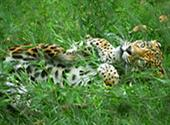 Young Jaguar Playing: 1024x768 pixels PC background wallpaper | Other Files | Wallpaper