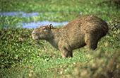 Capybara Roedor: 1024x768 pixels PC background wallpaper   Other Files   Wallpaper