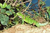 Green Young Iguana: 1024x768 pixels PC backgroung wallpaper | Other Files | Wallpaper