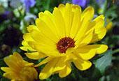 Light Yellow Daisy Flower: 1024x768 pixels PC wallpaper | Other Files | Wallpaper