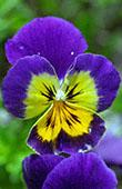 Violet and Yellow Pansy: 1024x768 pixels PC background wallpaper | Other Files | Wallpaper