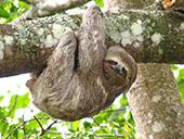 Three toed Sloth: 1024x768 pixels PC background wallpaper | Other Files | Wallpaper