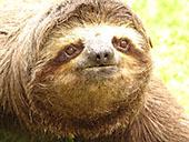 Three toed Sloth 2: 800x600 pixels PC background wallpaper | Other Files | Wallpaper