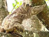 Three toed Sloth 3: 1024x768 pixels PC background wallpaper | Other Files | Wallpaper