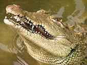 Acutus Crocodyle 1024x768 PC desktop wallpaper | Other Files | Wallpaper