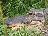 Mississipi Aligator Closeup: 1024x768 pixels desktop wallpaper | Other Files | Wallpaper