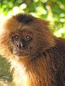 Capuchino Monkey Portrait: 1024x768 pixels PC wallpaper | Other Files | Wallpaper