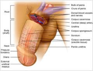 Penis Enlargement Guide Including Pictures | eBooks | Self Help