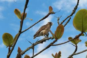 bird -  brazil