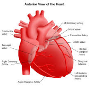 anatomy of the heart part2