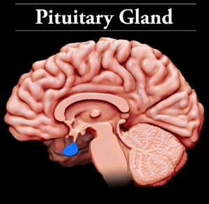 pituitary & glands overview