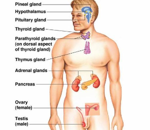 pineal & thymus glands overview